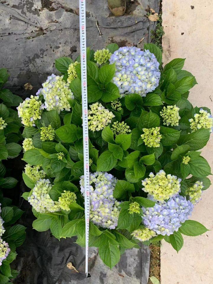 绣球花(七斤袋、盆苗)