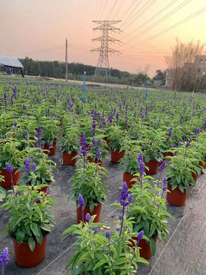 兰花鼠尾草(七斤袋、盆苗)