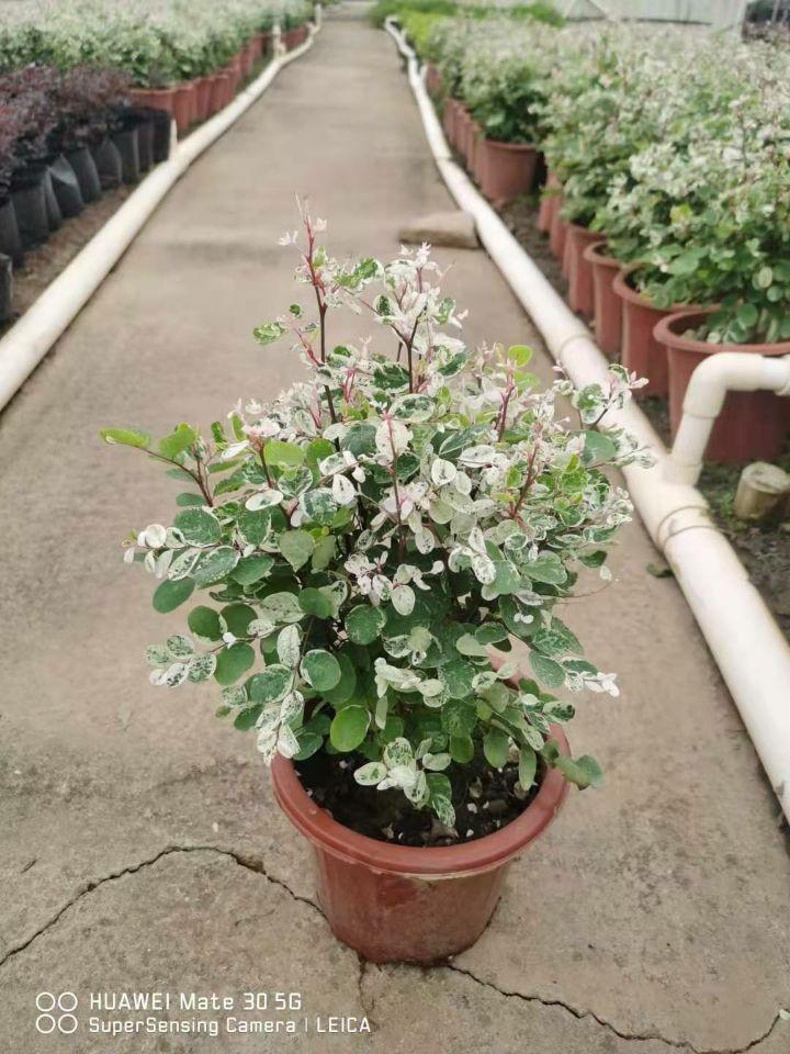 雪花木(七斤袋、盆苗)