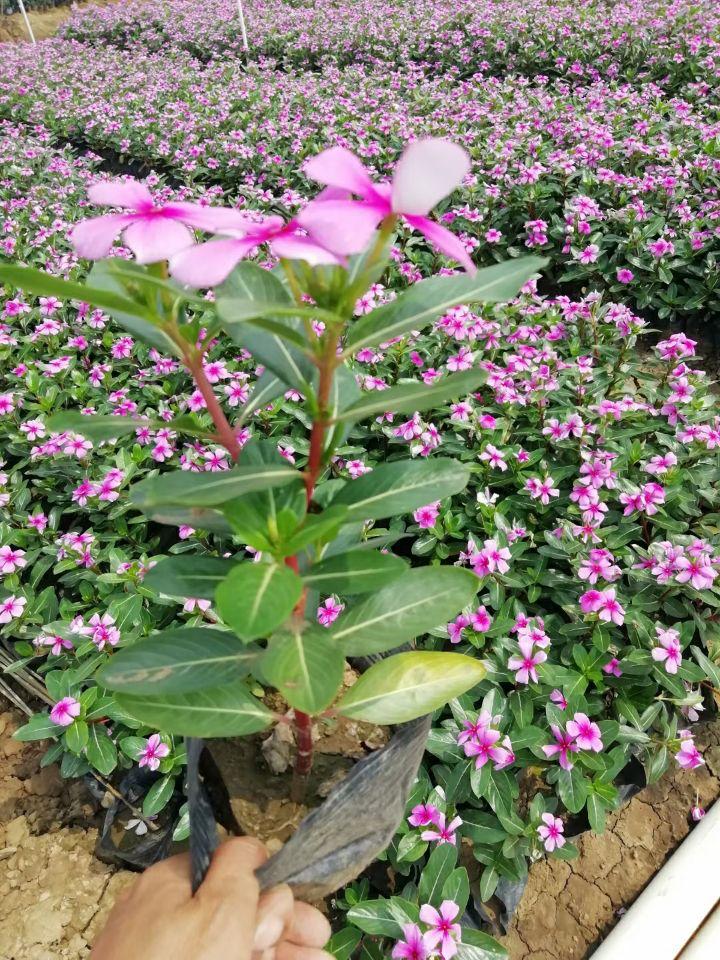 长春花(七斤袋、盆苗)