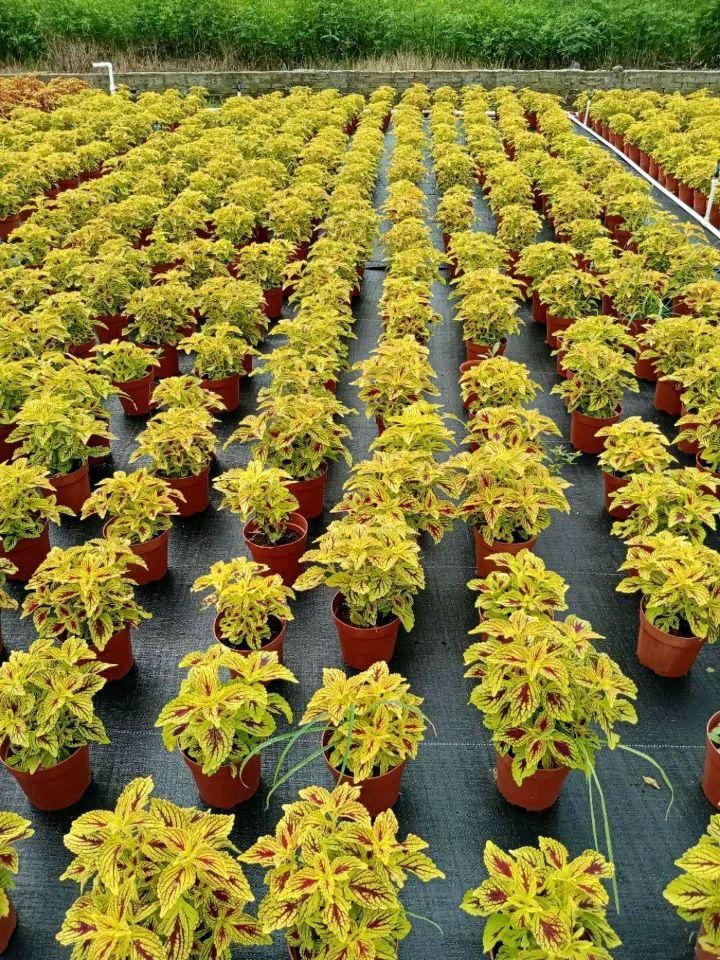 彩叶草(多色:七斤袋,杯苗、盆苗)