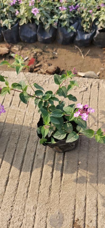 紫花马缨丹(七斤袋)